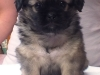 Tibetan spaniel female puppy Cake 5 weeks Pic 2