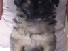 Tibetan spaniel female puppy Cake 5 weeks Pic 3