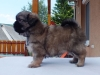 Tibetan spaniel female puppy Cake 5 weeks Pic 4
