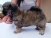 Tibetan spaniel female puppy Cake 5 weeks Pic 6