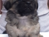 Tibetan spaniel female puppy Champagne 5 weeks Pic 1
