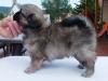 Tibetan spaniel female puppy Champagne 5 weeks Pic 5