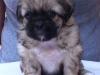 Tibetan spaniel male puppy Memory 5 weeks Pic 3