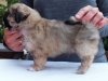 Tibetan spaniel male puppy Memory 5 weeks Pic 4