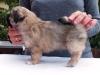 Tibetan spaniel male puppy Memory 5 weeks Pic 6