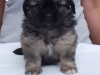 Tibetan spaniel female puppy Rose 5 weeks Pic 1