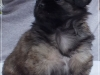 Tibetan spaniel female puppy Rose 5 weeks Pic 2