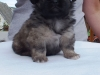 Tibetan spaniel female puppy Rose 5 weeks Pic 3