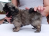 Tibetan spaniel female puppy Rose 5 weeks Pic 4