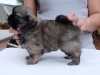 Tibetan spaniel female puppy Rose 5 weeks Pic 6