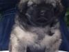 Tibetan spaniel male puppy Surprise 5 weeks Pic 1