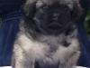 Tibetan spaniel male puppy Surprise 5 weeks Pic 1