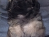 Tibetan spaniel male puppy Surprise 5 weeks Pic 3