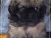 Tibetan spaniel male puppy Surprise 5 weeks Pic 4