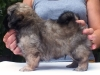 Tibetan spaniel male puppy Surprise 5 weeks Pic 6