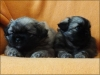 Celebration litter 5 weeks old 3/16