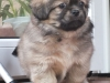 Tibetan Spaniel puppies outdoor 1/13