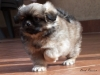 Tibetan Spaniel puppies outdoor 2/13