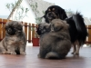 Tibetan Spaniel puppies outdoor 3/13
