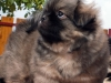 Tibetan Spaniel puppies outdoor 4/13