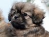 Tibetan Spaniel puppies outdoor 5/13