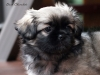 Tibetan Spaniel puppies outdoor 6/13