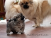 Tibetan Spaniel puppies outdoor 7/13