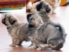 Tibetan Spaniel puppies outdoor 8/13