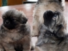 Tibetan Spaniel puppies outdoor 9/13