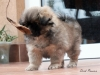 Tibetan Spaniel puppies outdoor 10/13
