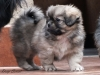 Tibetan Spaniel puppies outdoor 13/13
