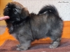 Tibetan Spaniel puppy girl Dark Chocolate 1/5