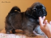 Tibetan Spaniel puppy girl Dark Chocolate 2/5