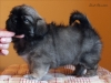 Tibetan Spaniel puppy girl Dark Chocolate 3/5