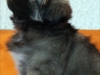 Tibetan Spaniel puppy girl Dark Chocolate 4/5