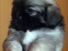 Tibetan Spaniel puppy girl Dark Chocolate 5/5