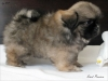 Tibetan spaniel puppy boy Dark Passion 2/5