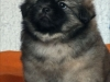 Tibetan spaniel puppy boy Dark Passion 3/5