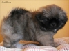 Tibetan spaniel puppy boy Dark Passion 4/5