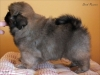 Tibetan spaniel puppy boy Dark Passion 5/5