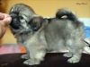 Tibetan Spaniel puppy girl Deep Secret 2/5