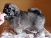 Tibetan Spaniel puppy girl Deep Secret 3/5