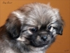 Tibetan Spaniel puppy girl Deep Secret 4/5