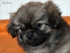 Tibetan Spaniel puppy girl Deep Secret 5/5