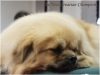 Tibet Dog Europe 2014 8/8