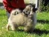 Zora tibeti spániel kölyök 3 hónapos 4