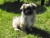 Zora tibetan spaniel puppy 3 months old 1