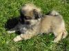 Zora tibetan spaniel puppy 3 months old 2