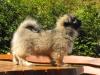Zora tibetan spaniel puppy 3 months old 3