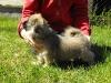 Zora tibetan spaniel puppy 3 months old 5